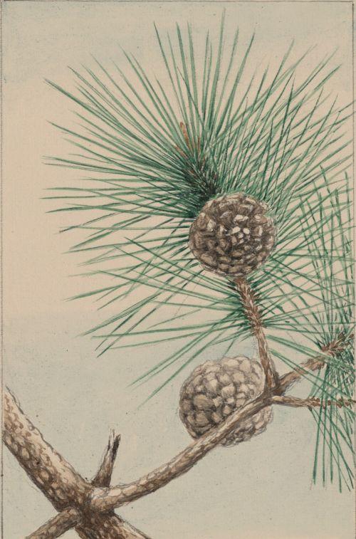 Pine Tree Cone & Needles