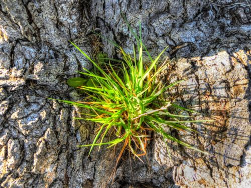 Pine Tree Sprout