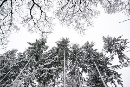 pine trees winter white
