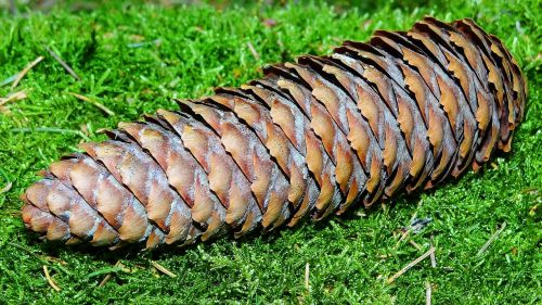 pinecone forest wood