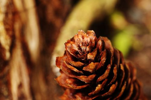 pinecone macro nature