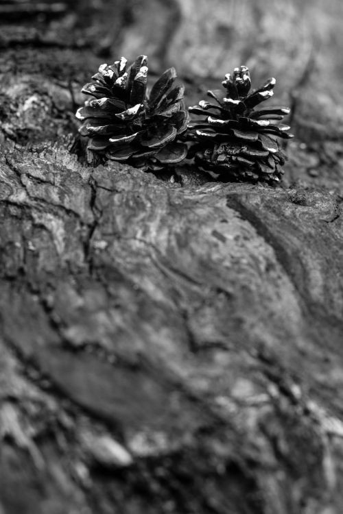 pinecone wood nature