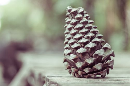 pinecone conifer reproduction