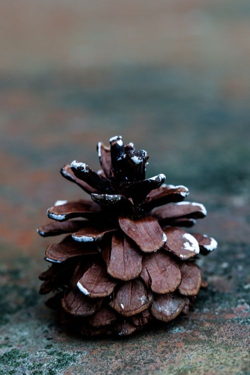 pinecone fall nature