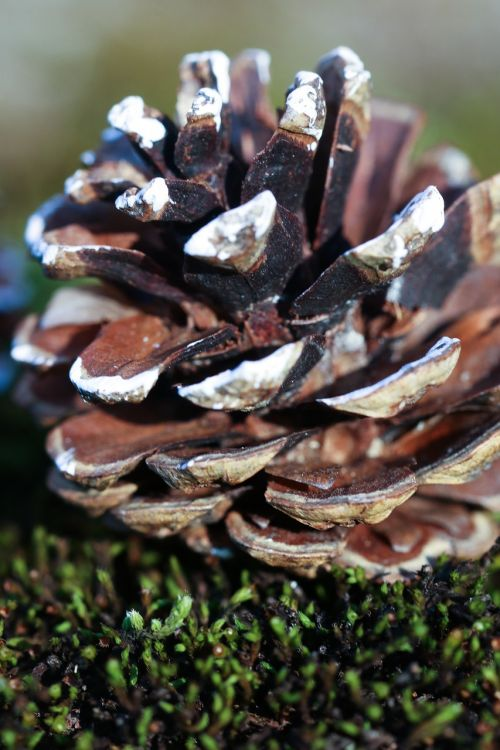 pinecone nature macro