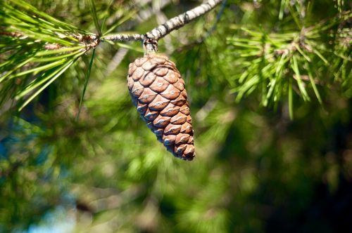 pinecone conifer nature