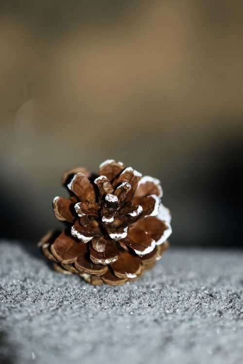pinecone snow nature