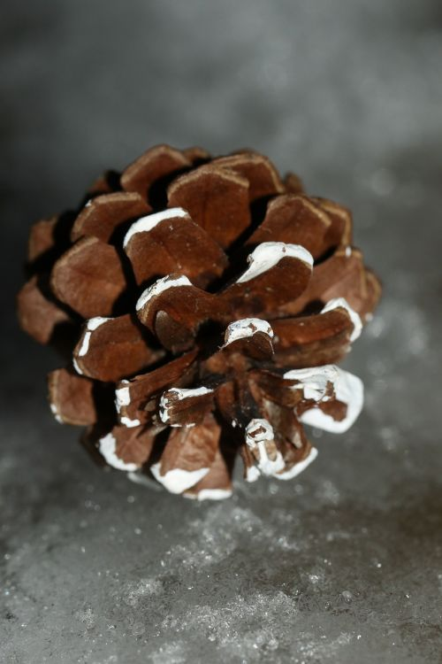 pinecone winter macro