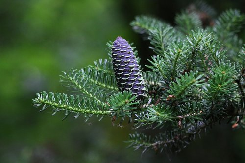 pinecone  cone  fir korea