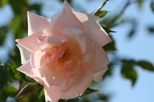 pink blossomed rosebush
