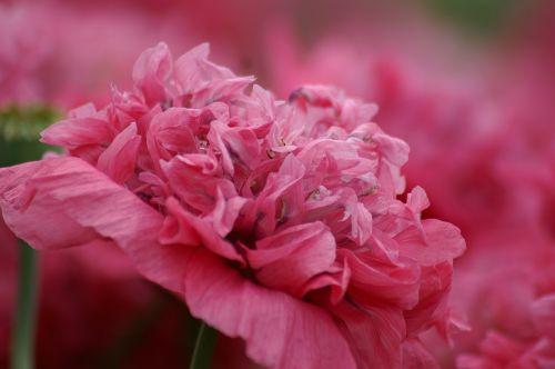 pink pink flower love