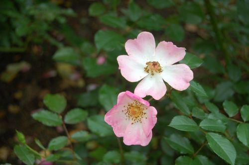 roses color pink flower