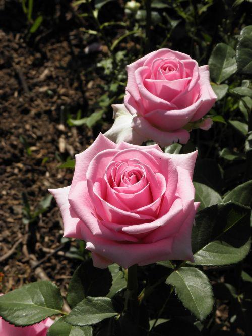 pink rose june