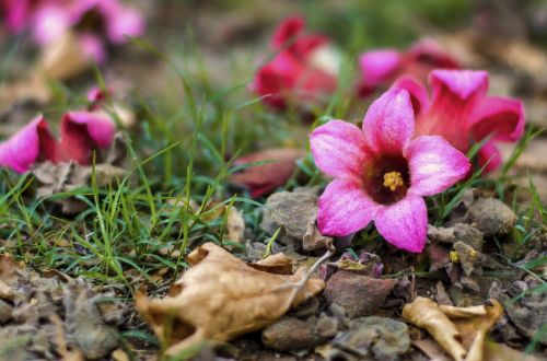 pink,flower,nature,color,plant,bloom,spring,floral,natural,pink flowers,garden,romantic,colorful