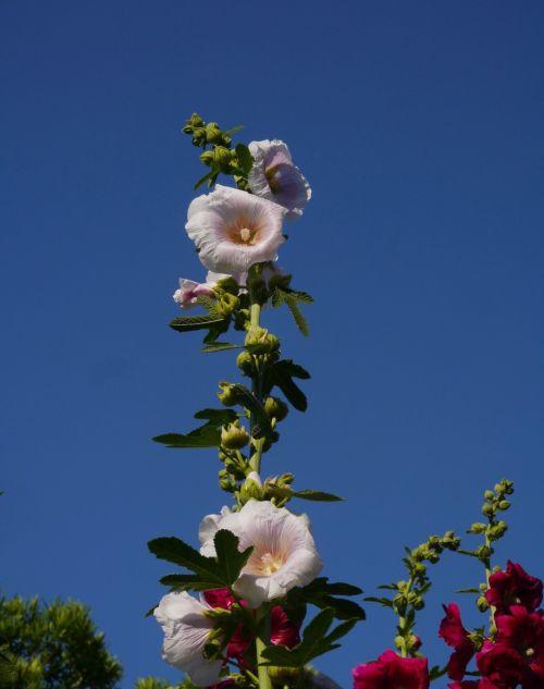 althaea rosea hana aoi white