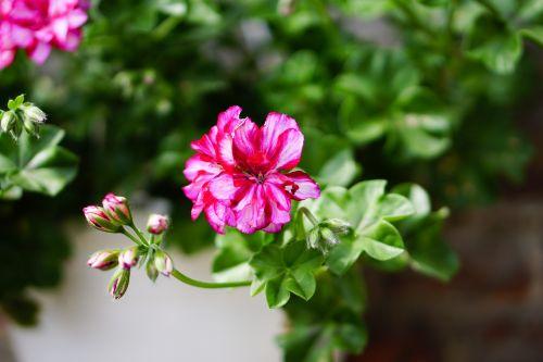 pink flowers geranium
