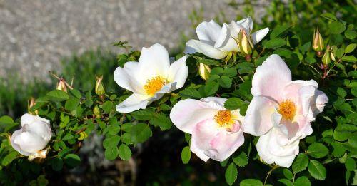 pink rosebush flower
