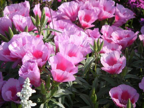 pink azaleas chalices