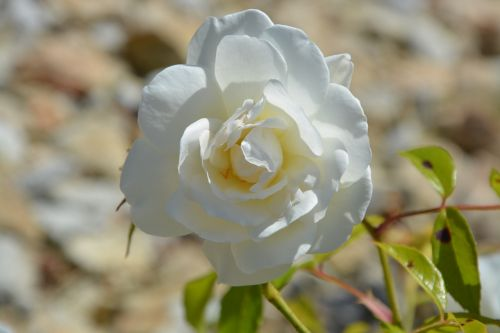 pink white rosebush