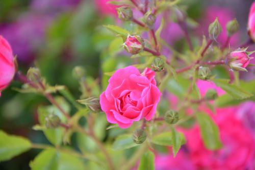 pink rosebush pink flowers