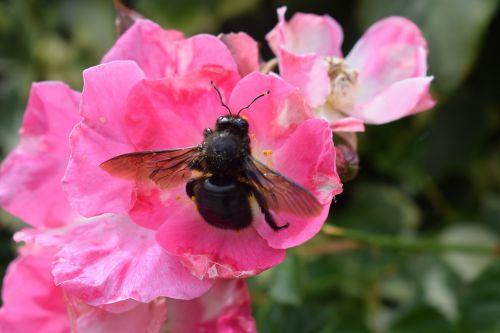 pink flower carpenter bee