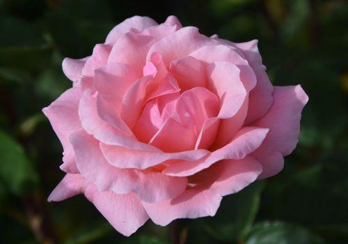 pink color pink rosebush