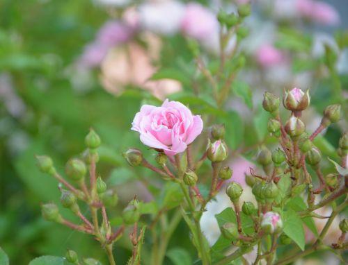 pink rosebuds color pink