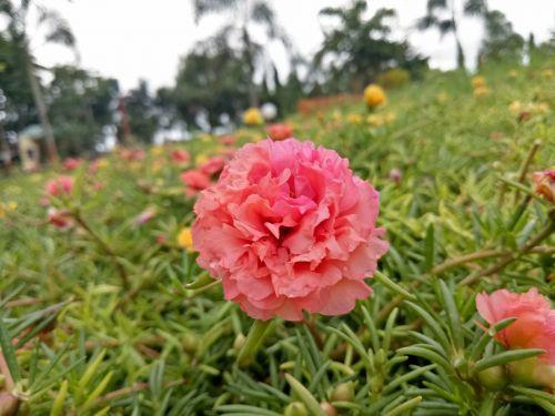 pink pink flower garden