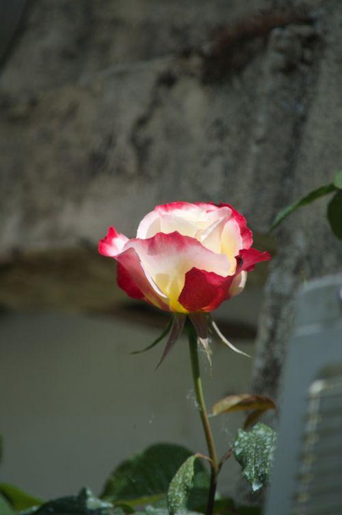 pink flower rosebush