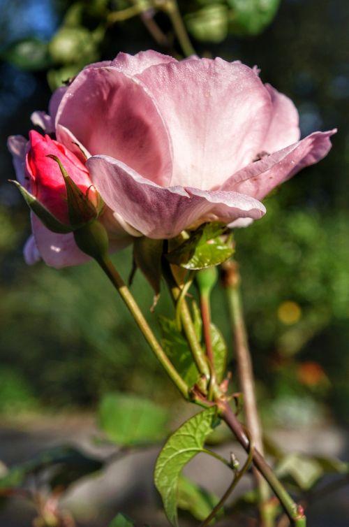 pink rose rosebud