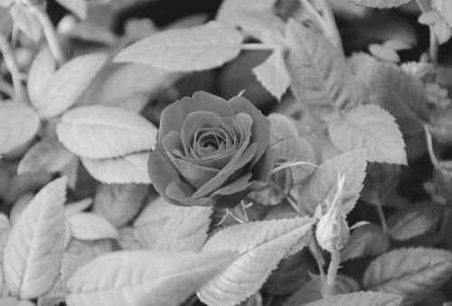 pink photo black white offer nature