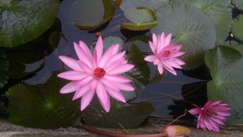 pink guns flower