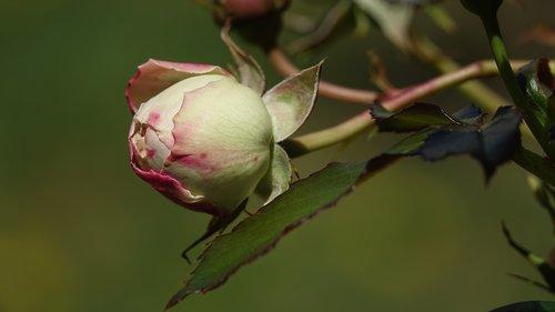 pink  bud  garden