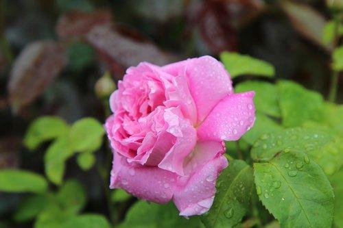 rožinis, rožinė rožė, rožių krūmas, rožinė mygtuką, spalva rožinė, rausvos gėlės, rožinė gėlė