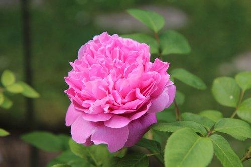 pink  rosebush  english rose