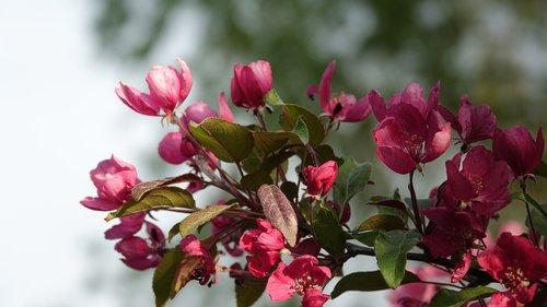 pink  vernal  flower
