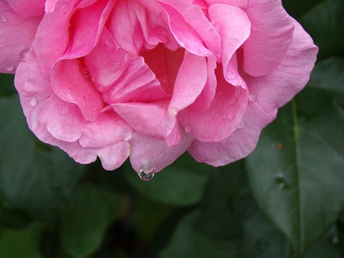 pink  garden  nature