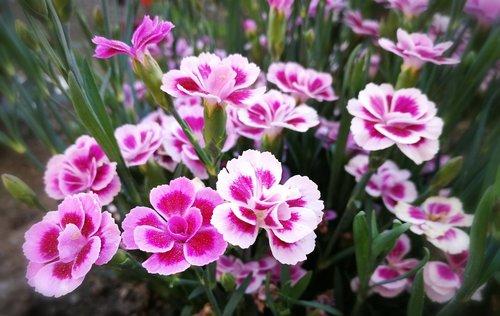 pink  bart cloves  sweet william