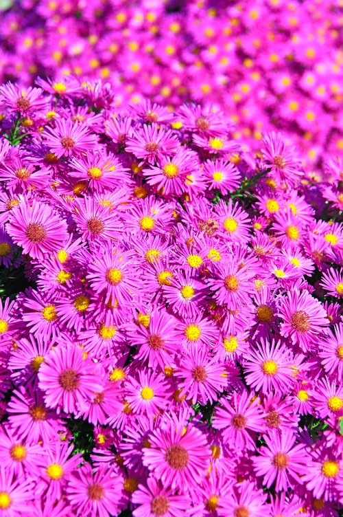 pink  pink chrysanthemum  bloom