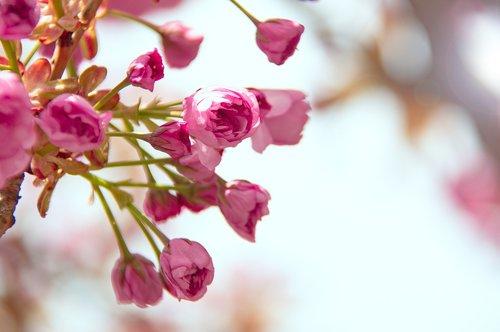 pink  japan cherry  flower