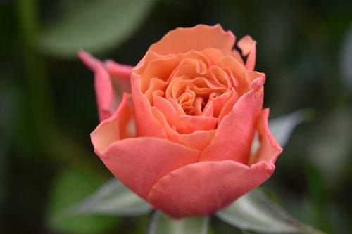 pink  flower  flower color pink-orange