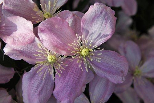 pink  clematis  the petals