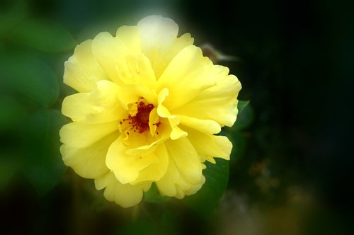 pink  corolla  flower