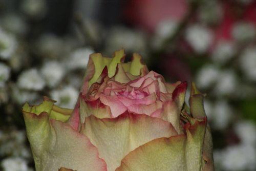 pink tenderness love