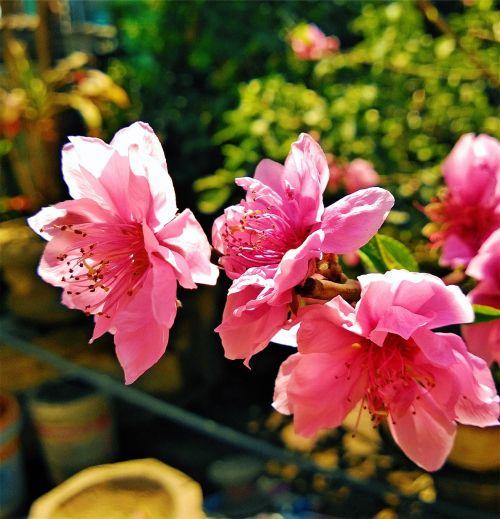 rožinis,gėlės,puodai,sodas