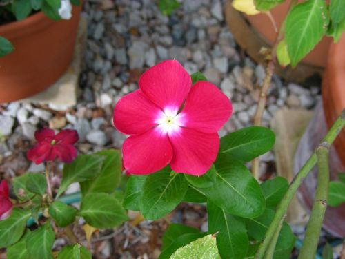 pink pink flower vinca