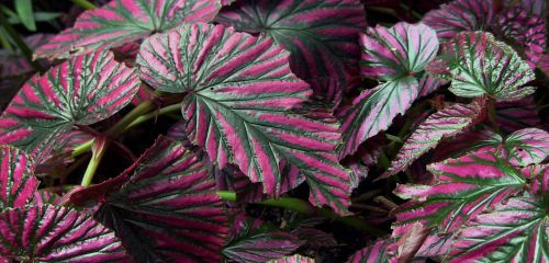 Pink And Green Leafy Plant