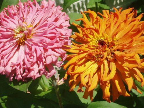 Pink & Orange Zinnias