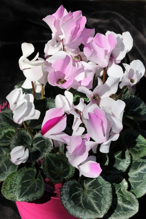 Pink And White Cyclamen Flowers