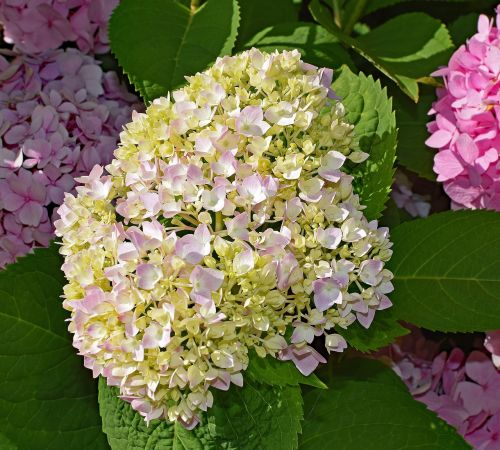 pink and yellow hydrangea shrub flower
